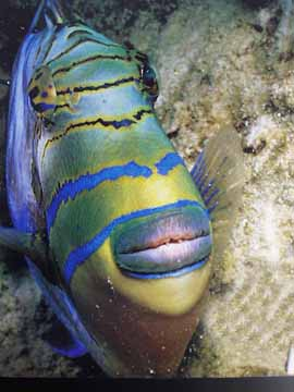 Parrotfish Protection required scuba diving  scuba diving news